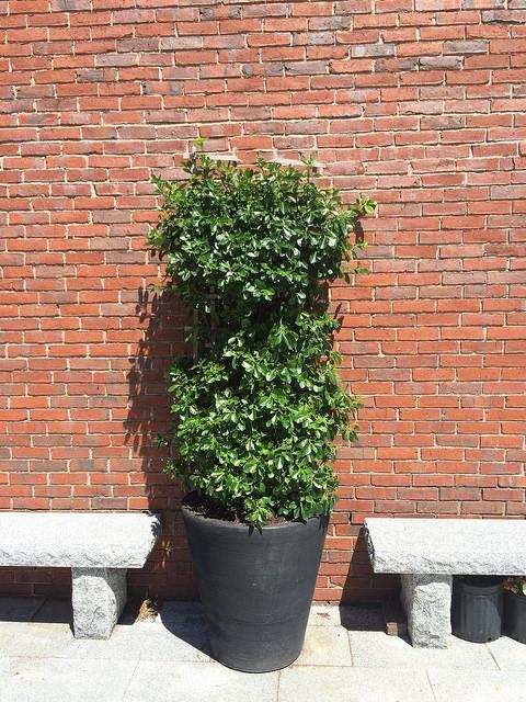 Manhattan Spreading Euonymus (Euonymus Kiautschovicus)