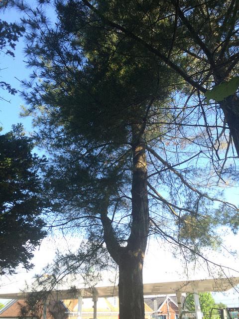 Pine (Pinus strobus)