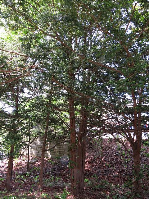 Japanese UprightYew (Taxus cuspidata 'capitata')