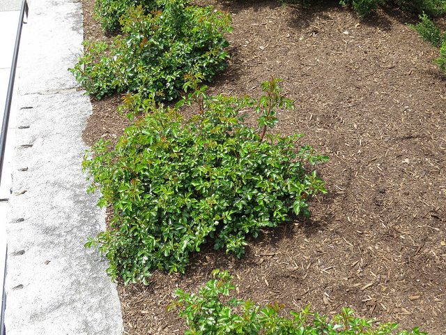 "Coral Drift Groundcover Rose (Rosa Hybrida ""Coral Drift')"