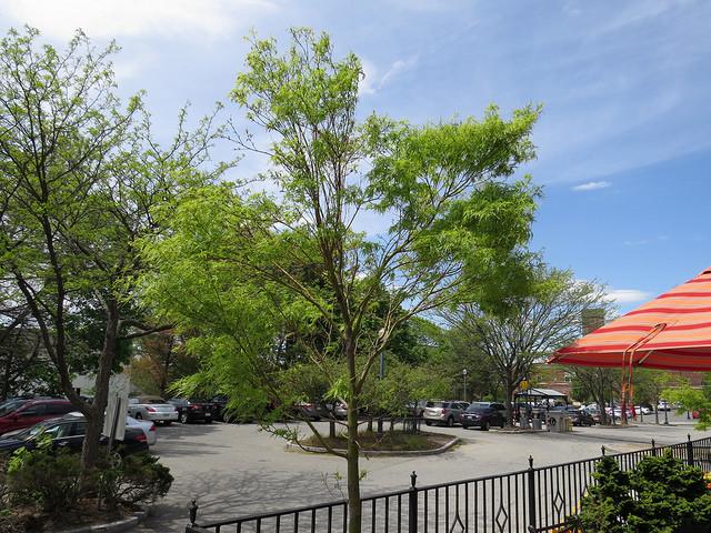 Seiryu JapaneseMaple (Acer palmatum 'Seiryu')