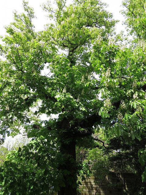 Common Horse Chestnut (Aesculus hippocastanum)